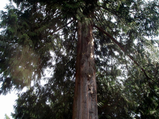 The cedar tree before the climb and prune.